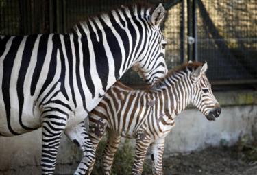 Zebra_Bioparco_RomaR375_23giu09.jpg