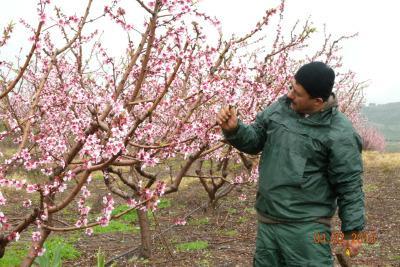 La storia quando un albero da frutto mette insieme for Quando piantare alberi da frutto