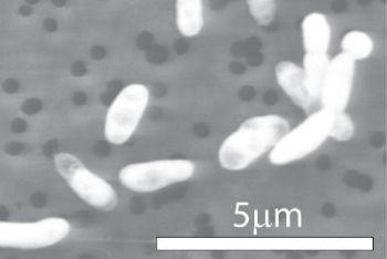 Il batterio GFAJ-1 studiato dalla Nasa (Ansa)