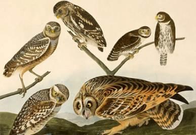 Un disegno di John James Audubon