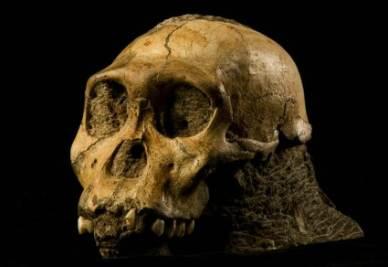 Il teschio dell'Australopithecus sediba  - (Foto ansa)