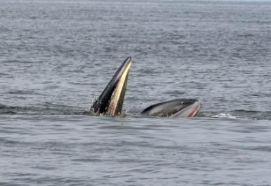 Balene nel golfo della Tailandia