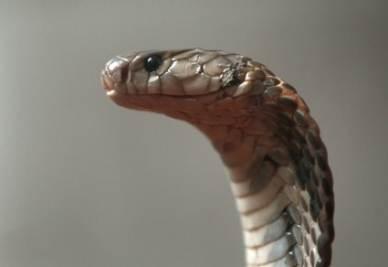Uno cobra (Foto: ANSA)