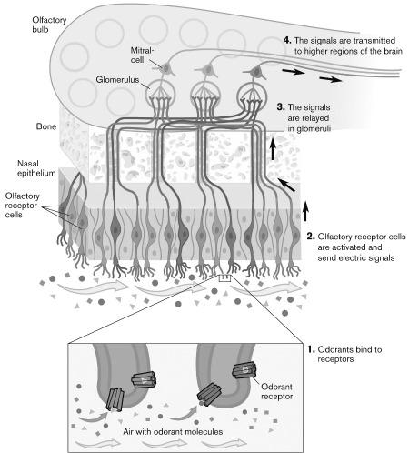 Schema di funzionamento dell'Olfatto