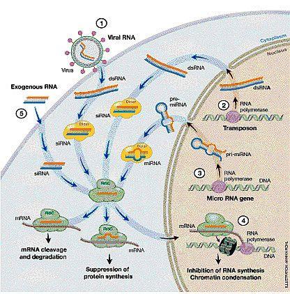 Processi cellulari dipendenti dal meccanismo di interferenza a RNA