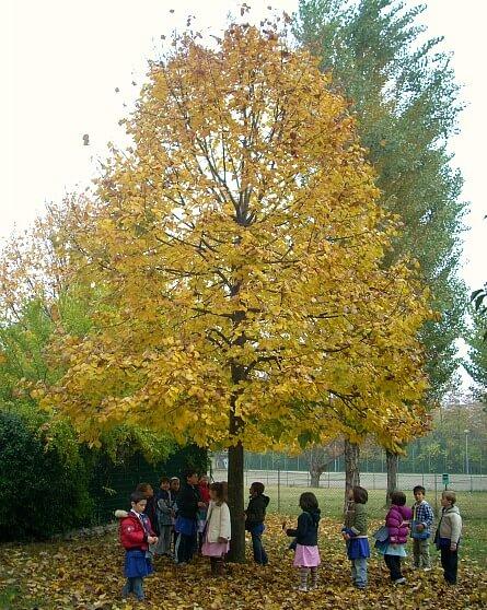 Scienz scuola attendendo le foglie che cadono fare for Tiglio albero