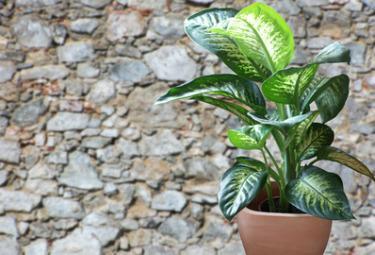 La Dieffenbachia, una diffusa ma pericolosa pianta da appartamento (Fotolia)