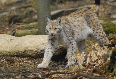 AMBIENTE/ Gli animali in via d'estinzione tornano a colonizzare l'Europa