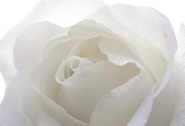 rosa_biancaR375.jpg