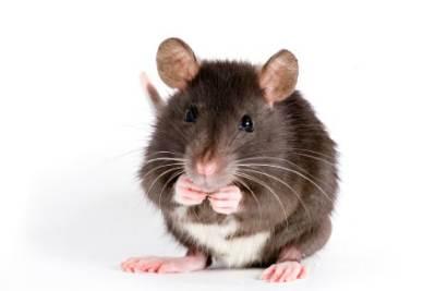 La ricerca sui ratti