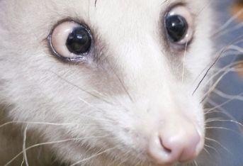 heidiopossum_R400.jpg