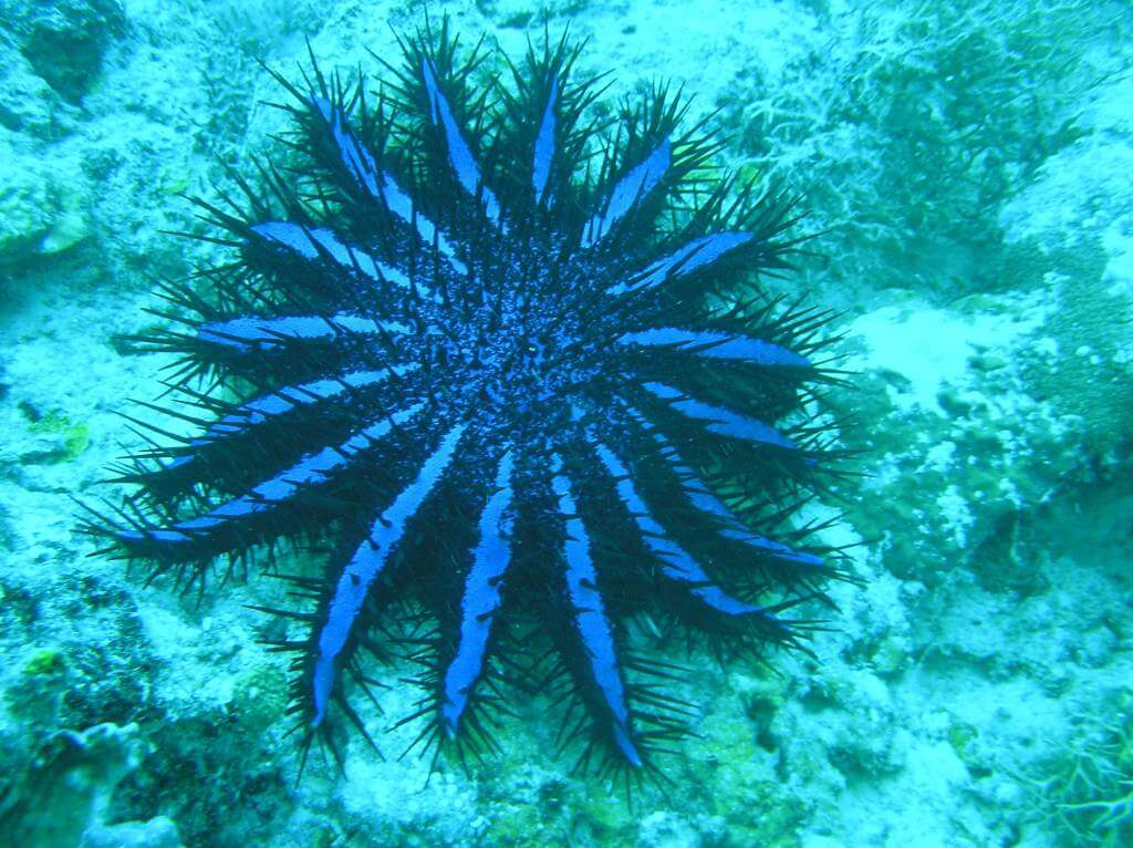 Acanthaster Corallo