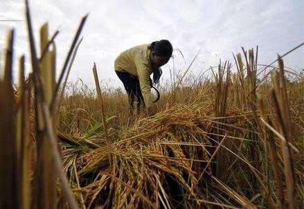 Coltivazione di riso (Infophoto)