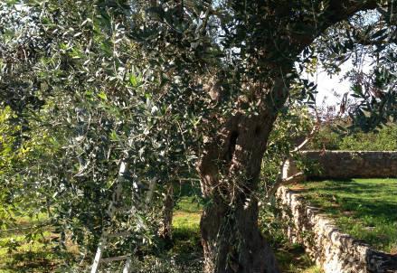 Gli ulivi salentini
