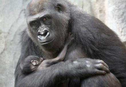 Il gorilla Shira e il cucciolo morto