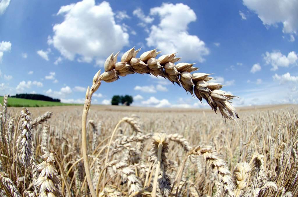 Una spiga di grano al sole (Foto: Infophoto)