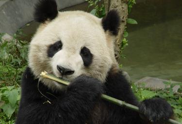 PandaR375.jpg