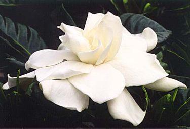gardeniaR375.jpg