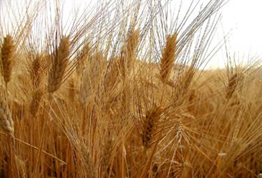 Un campo di grano maturo