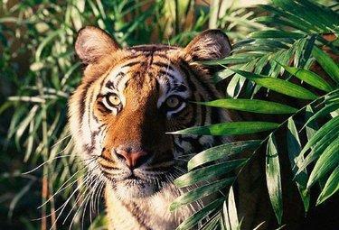 tigregiunglaR375_08dic09.jpg