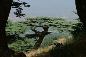 albero_libanoR400.jpg