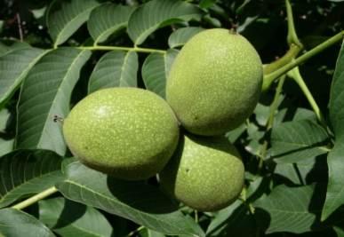 Frutti di noci non ancora maturi