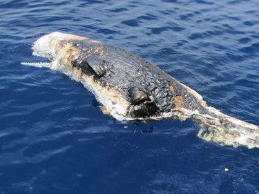 La foto della balena trovata morta nel golfo del Messico