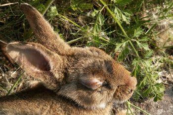 Un coniglio affetto da Mixomatos