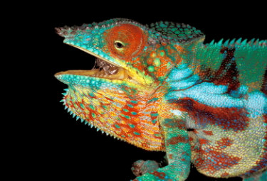 iguana_R375.jpg