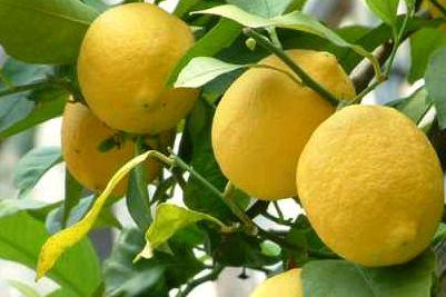 L'odore dei limoni