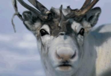 Una renna