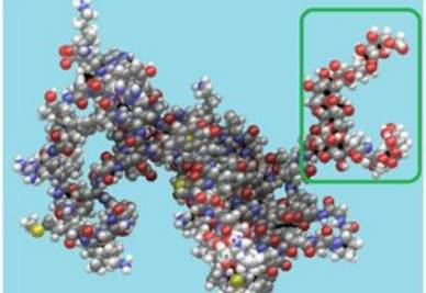Una glicoproteina: è evidenziata la parte zuccherina