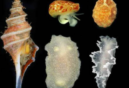 Gasteropodi antartici