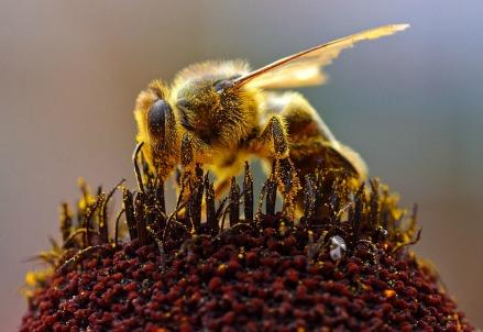 Le api nascono già mielizzate (pdphoto.org)