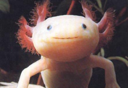 Un esemplare di Axolotl