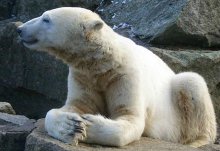 L'orso Knut