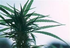 CANNABIS LEGALE?/ Marijuana light, il cavallo di Troia dei radical chic per morire di sballo ...