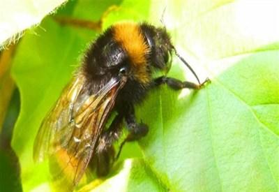 Tra gli insetti commestibili anche le api