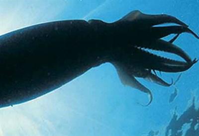 Un calamaro gigante