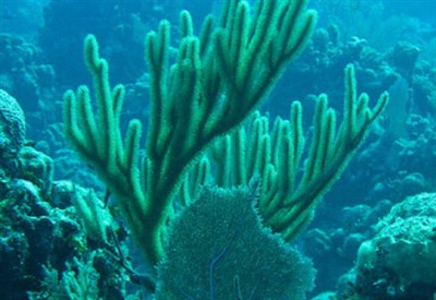 Coralli delle Hwaii