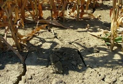 Gli effetti della siccità in un campo di mais