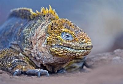Iguana, Isole Galapagos (Infophoto)