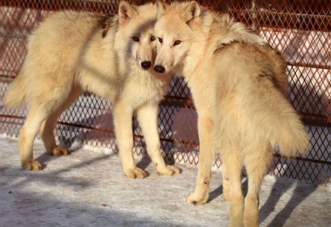 I lupi si possono fucilare? (LaPresse)