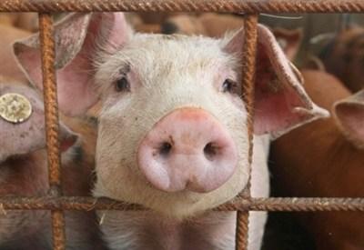 Un maiale d'allevamento (Infophoto)