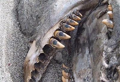 """La carcassa del """"mostro"""" neozelandese"""