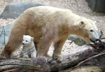 Un orso polare in un'immagine d'archivio