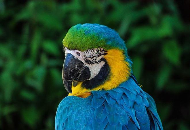 Il pappagallo blu estinto addio al volatile protagonista