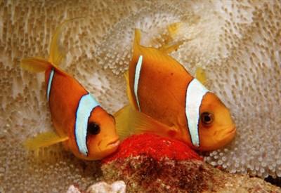 I pesci pagliaccio (InfoPhoto)