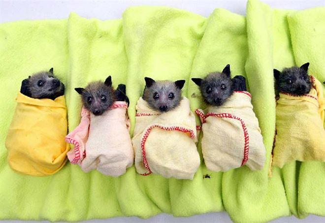 Il virus Nipah trasmesso dai pipistrelli da frutta