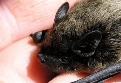 Pipistrelli contro le zanzare e non solo ecco perch for Le zanzare non pungono i malati